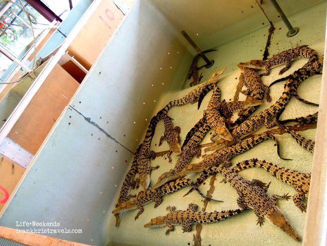 Crocodiles at Puerto Princesa City