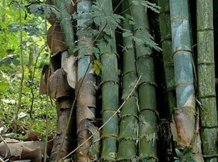 29 Khasiat Air Bambu Untuk Kesehatan