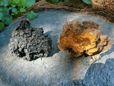 Chaga mushroom cancer testimonials