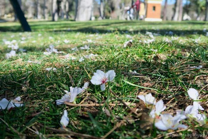 緑とピンク色のコントラストが素敵な芝生の上に落ちたアーモンドの花