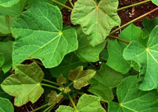 manfaat daun jarak untuk kesehatan, daun jarak untuk perut kembung