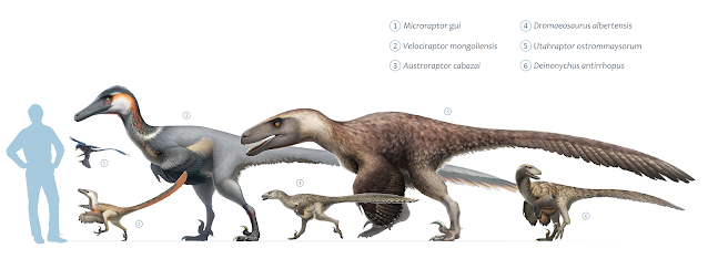 Size chart of different well known dromaeosaurs: Microraptor gui, Velociraptor mongoliensis, Austroraptor cabazai, Dromaeosaurus albertensis, Utahraptor ostrommaysorum, and Deinonychus antirrhopus ©Fred Wierum, CC BY-SA 4.0