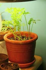 cara menanam wortel indoor, cara menanam wortel dalam pot dari bijinya