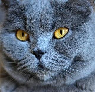 Korat vs Russian Blue Cat Personality, Size, Lifespan, Price