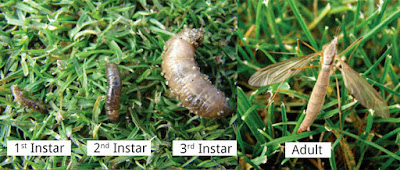 Life stages of a Crane Fly, from the 1st instar on the left through 2nd and 3rd. The adult stage is the last on the right.