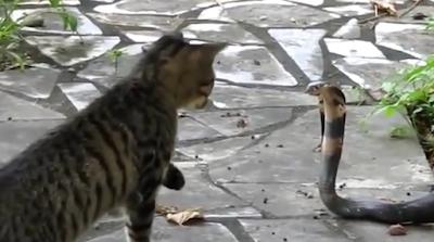 Kamu Harus Tau Ternyata Kucing adalah musuh alami Ular Loh