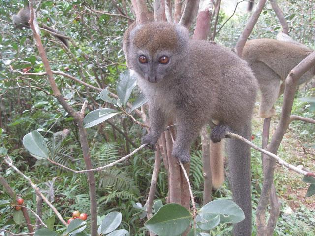 grey bamboo lemur andasibe