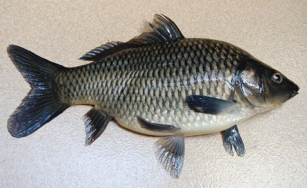 Jenis-Jenis Ikan Mas Hias dan Konsumsi