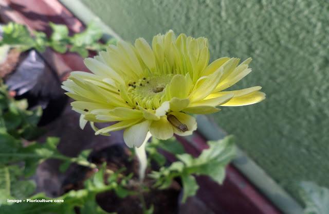 caterpillar damage in yellow gerbera daisy flower