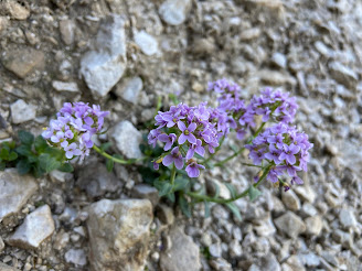 [Brassicaceae] Noccaea rotundifolia – Round Leaved Penny Cress (Erba storna a foglie rotonde)