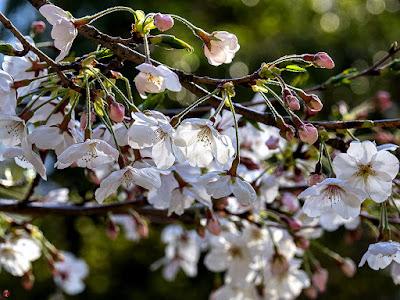 Yama-zakura (Cerasus jamasakura) flowers; Kemcho-ji