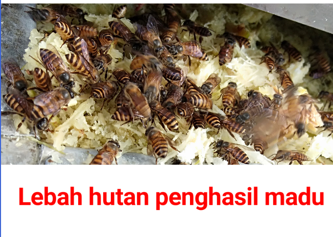 Madu, manfaat madu, madu hutan