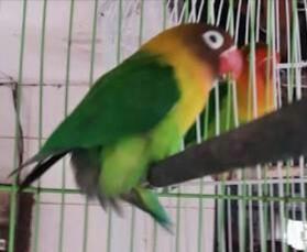 Cara Super Jitu Mengatasi Lovebird Over Birahi Dengan Mudah
