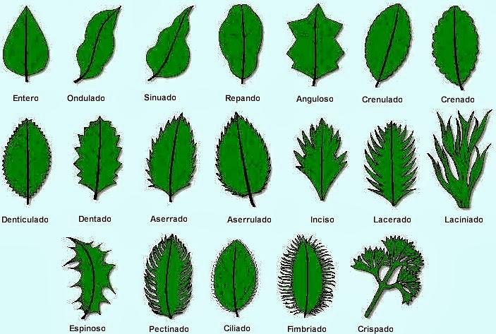 Valdepl stica dibujando hojas y plantas for Tipos de arboles y sus caracteristicas