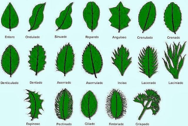 Valdepl stica dibujando hojas y plantas for Tipos de arboles y su significado