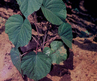 Gambar atau foto  Bidara Upas (Merremia Mammosa Hall. f.)