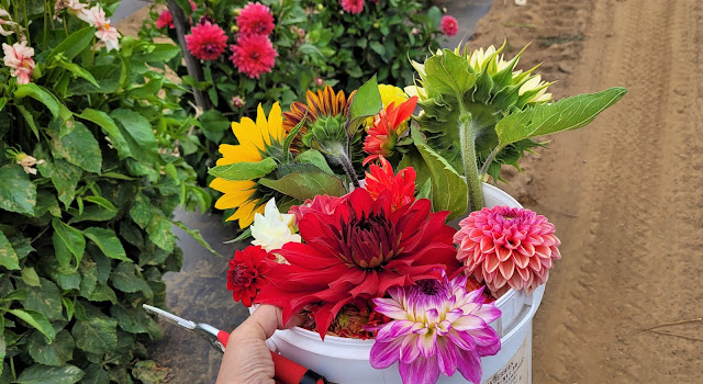 dahlias and sunflowers in a bucket