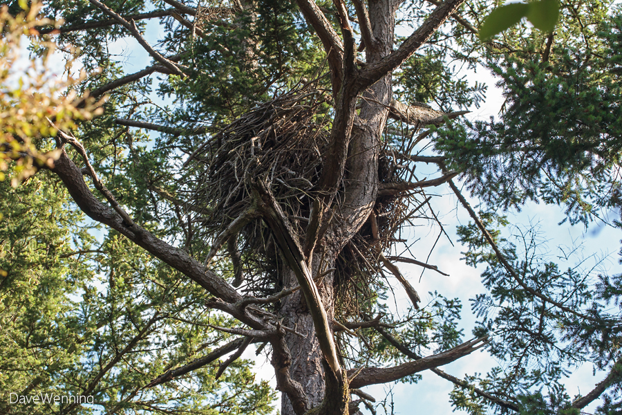 Bald Eagle Nest, Kukutali Preserve