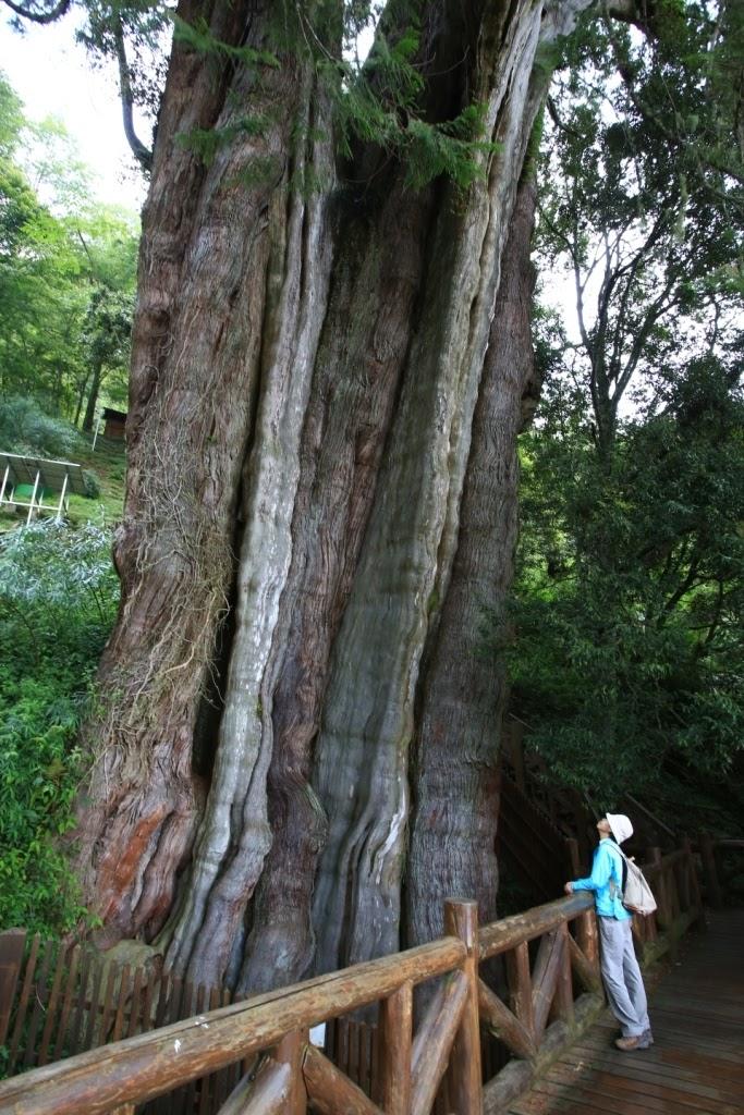 阿畢的天空: 去阿里山的路上──「鹿林神木」大驚奇
