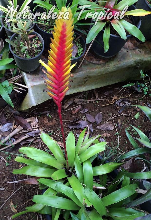 Consejos de cultivo para plantas del género Vriesea