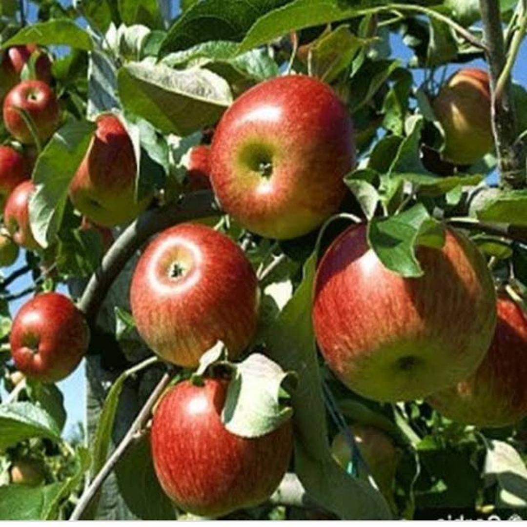 Trend 2021! Bibit Buah apel malang cangkok Kota Bogor #jual bibit buah buahan