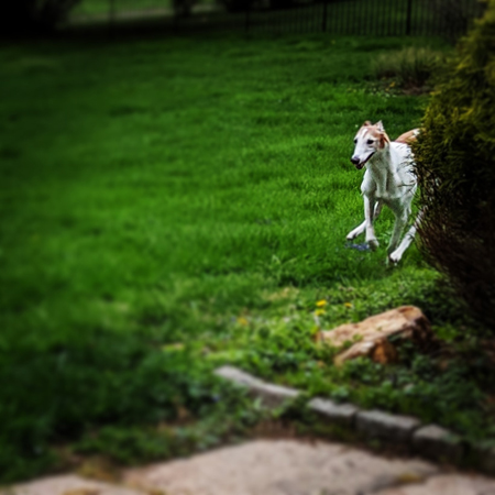 image of Dudley the Greyhound running in the backyard