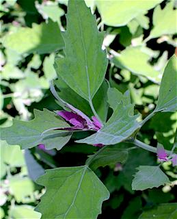https://fr.wikipedia.org/wiki/Arroche_des_jardins