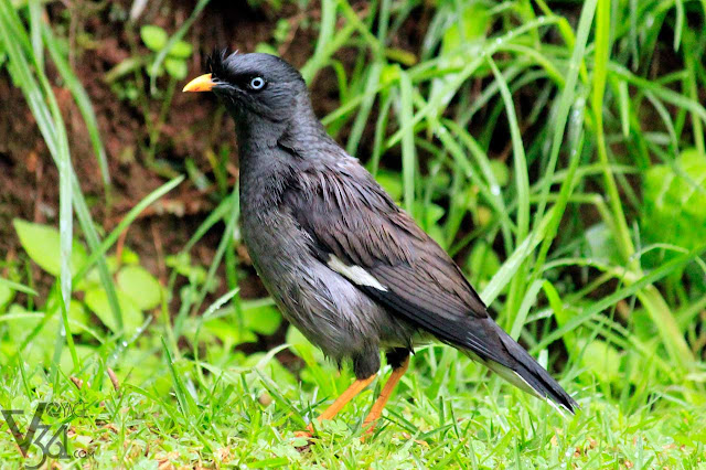 Great Myna at the Ooty gardens