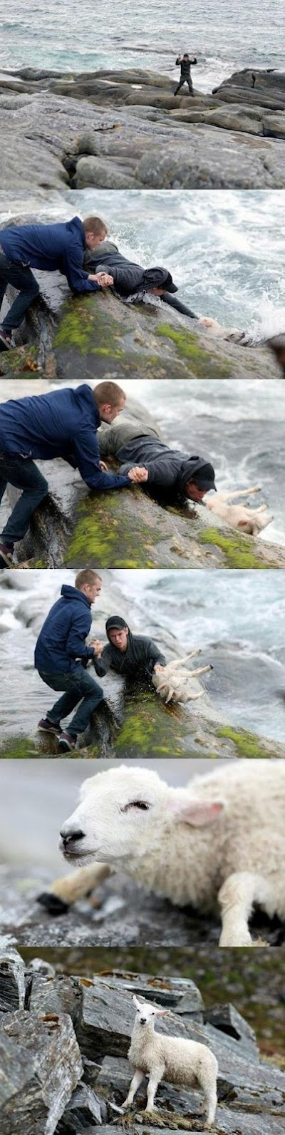 Penyelamatan domba!
