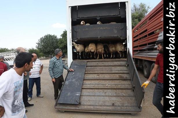 DİYARBAKIR- Diyarbakır Tarım ve Orman İl Müdürlüğü Genç Çiftçi Projesi Kapsamında 8 ilçedeki toplamda 29 genç çiftçiye 986 küçükbaş koyun teslim edildi.