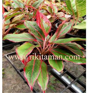 Jual aglaonema thailand siam aurora | suplier tanaman | bromelia | sansiviera | adenium