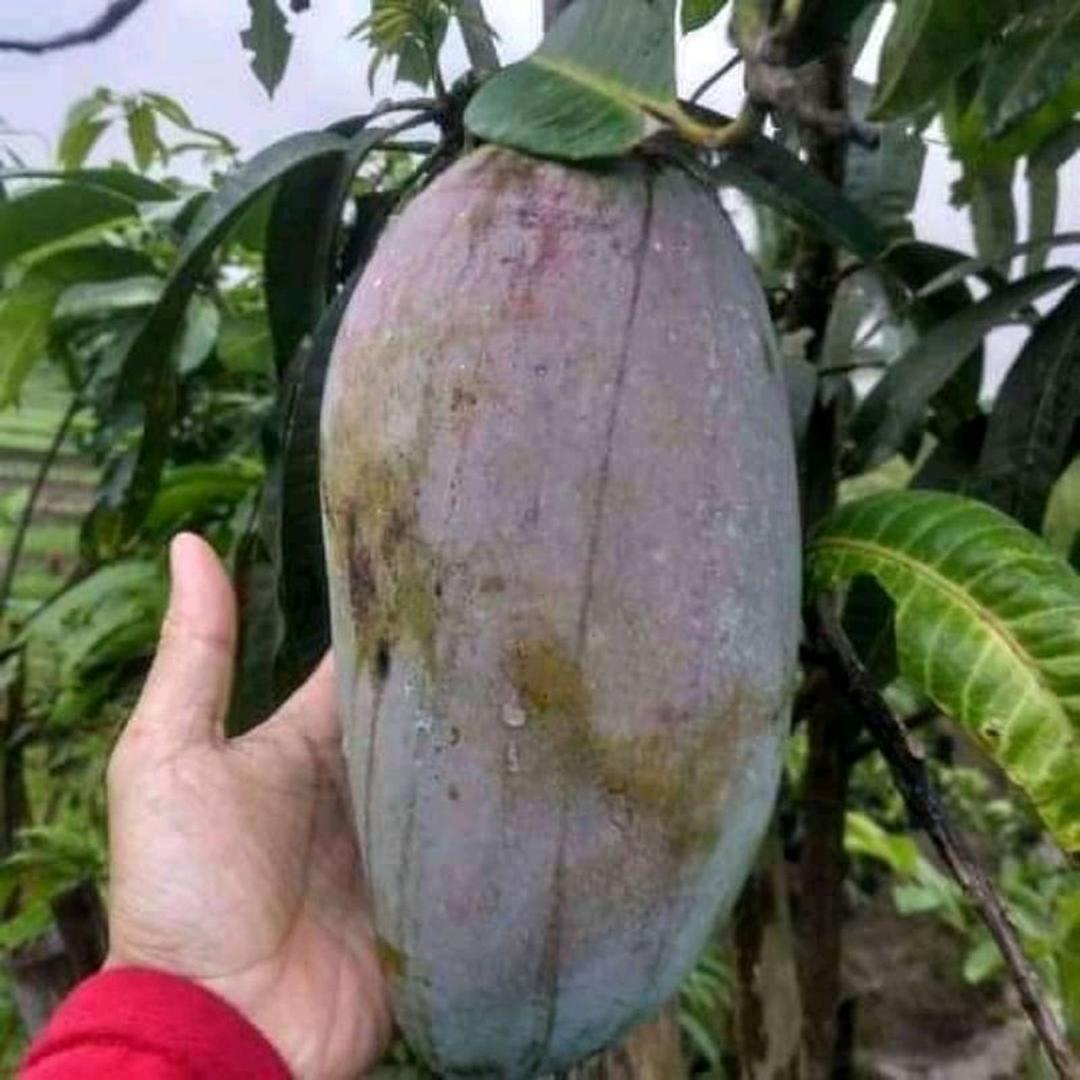Bisa Borong! bibit mangga KIOJAY OKULASI UNGGUL bisa tanam di POT Kota Kediri #jual bibit buah buahan