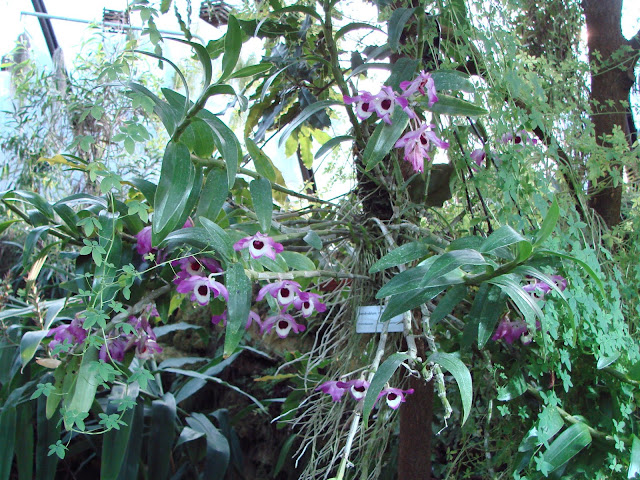 Dendrobium_nobile_%2528BG_Zurich%2529-04.jpg