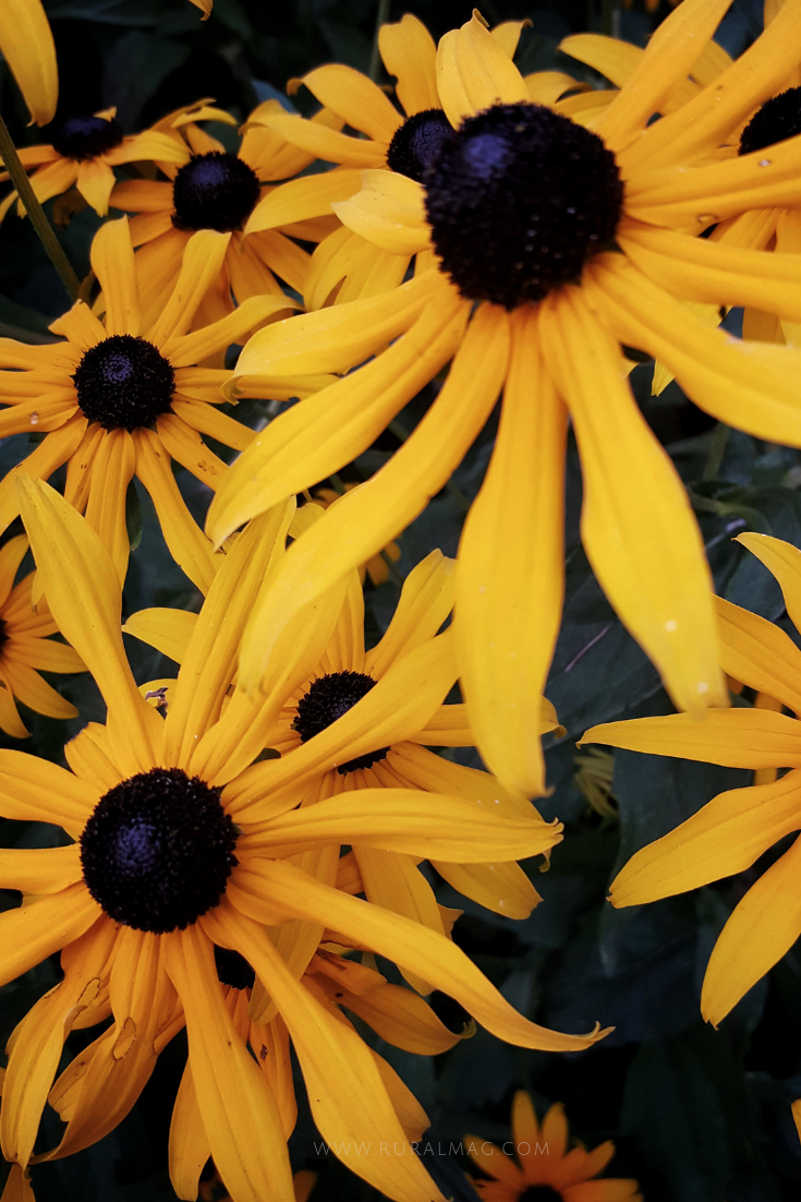 Bright yellow black eyed Susans from www.ruralmag.com