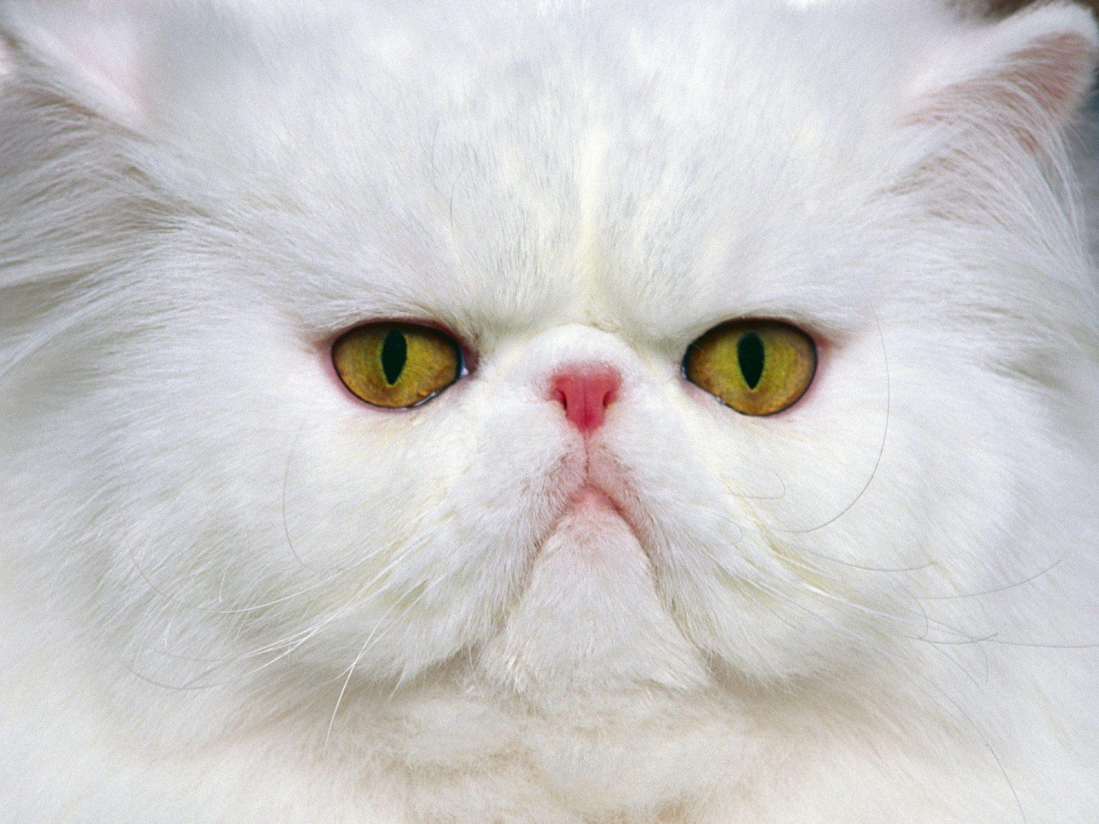 Unduh 97+  Gambar Kucing Persia Yg Lucu Terbaru HD