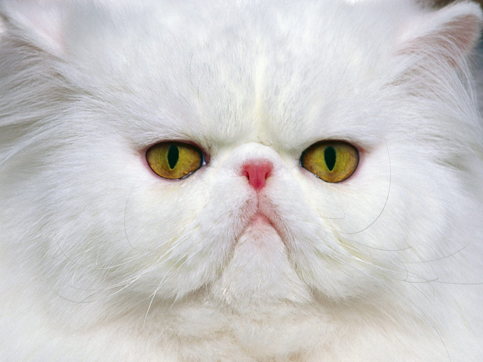 Persian Cat Wallpapers | Animals Library