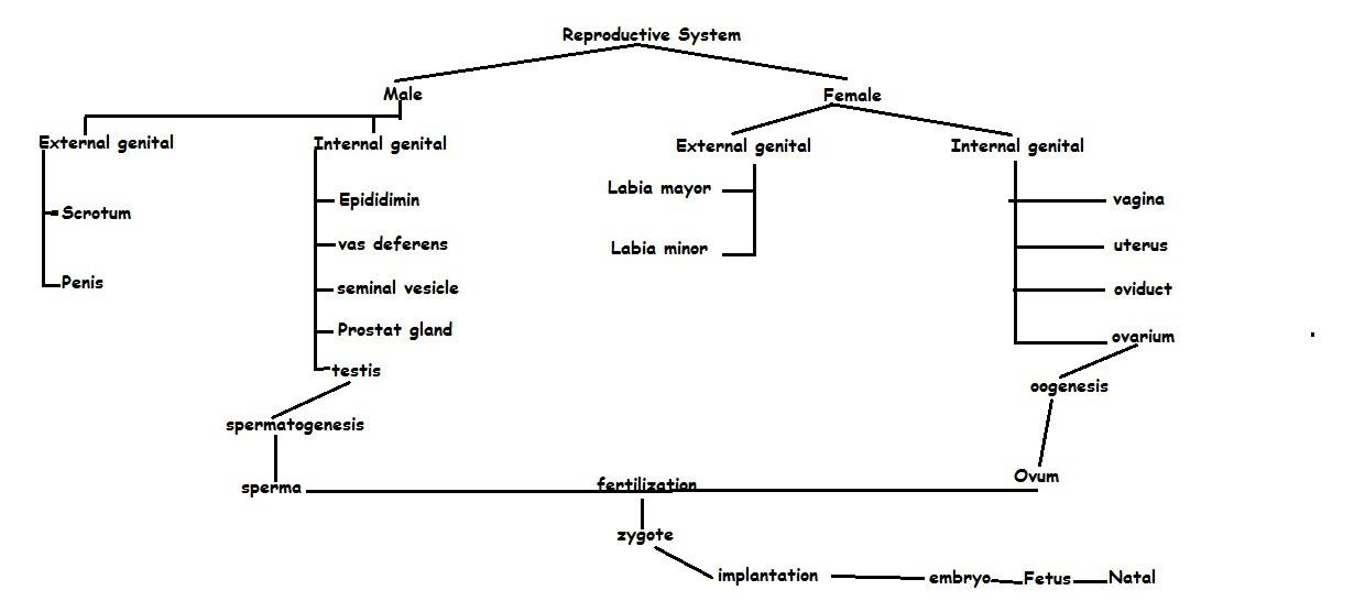 Reproductive System Concept Map.Reproductive System In Human