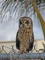 Hawaiian Owl, Kahana Beach, Maui - by Forest and Kim Starr, Jan. 12, 2009