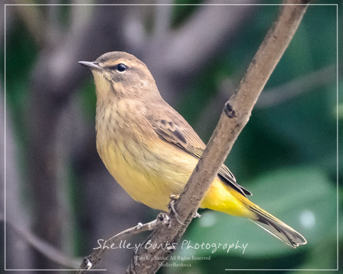 Palm Warbler. Copyright © Shelley Banks, all rights reserved