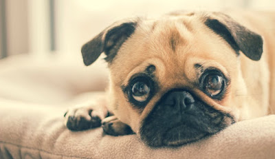 miradas_de_cachorros