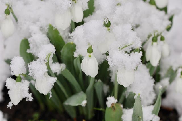 Snow drops in snow.