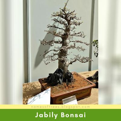 Jabily Bonsai
