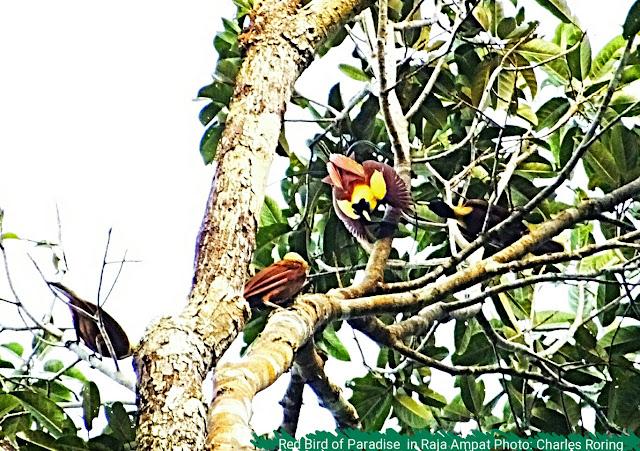 Courtship Dance of Red Bird of Paradise in Raja Ampat