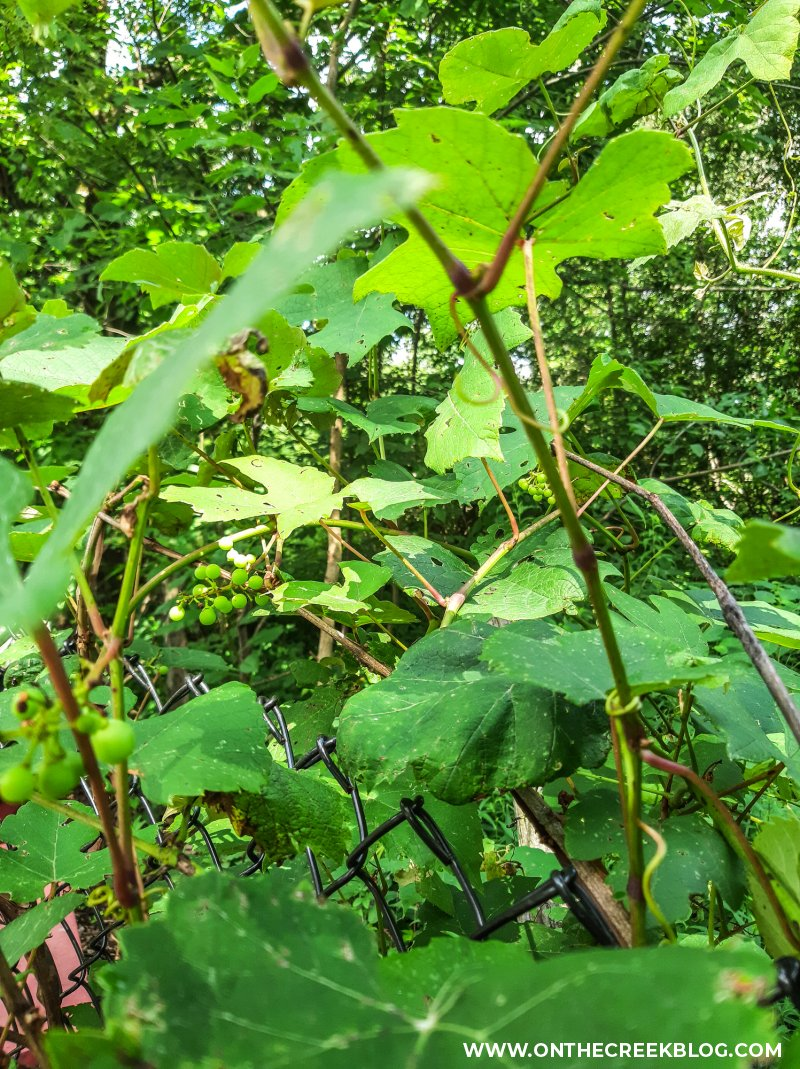 seedless grape vines | On The Creek Blog // www.onthecreekblog.com