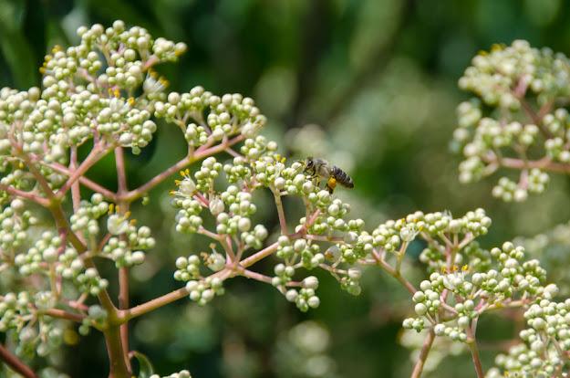 Еводија (Tetradium Daniellii) - цвет