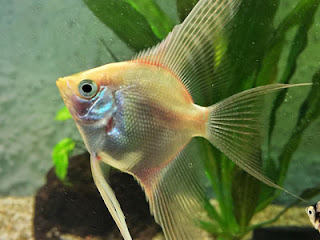 Blushing Angelfish