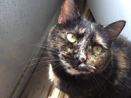 Closeup of a beautiful Tortie cat