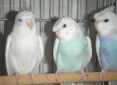 Crested parakeet