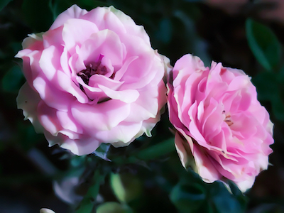 Pink roses with green leaves stock image