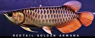Gambar jenis ikan arwana